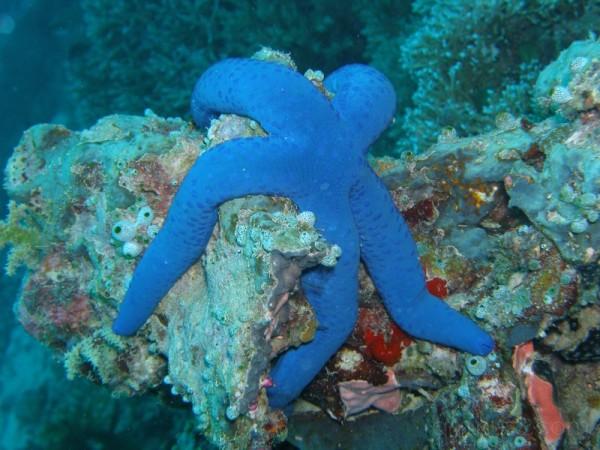 Blue starfish, Palau