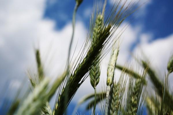 Russia: Wheat Field