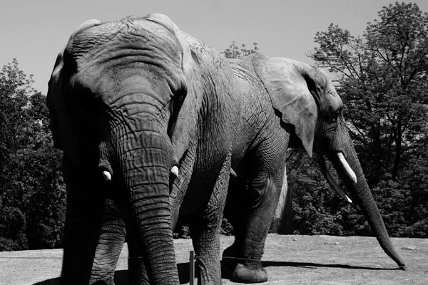 Elephants in the toronto zoo