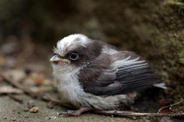 Long Tailed Tit Chick