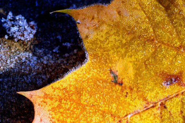 Gold leafed Autumn