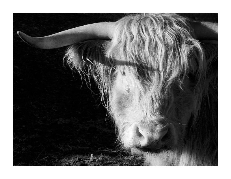 A Hairy Cow
