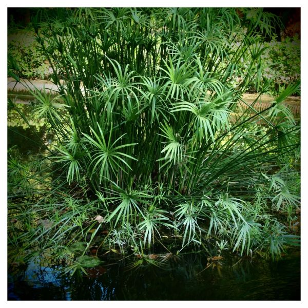 papyrus reed tropical hot seville