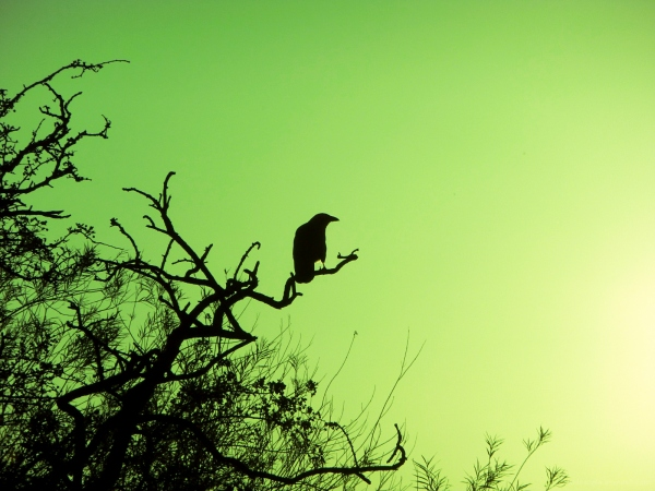 crow sunset green