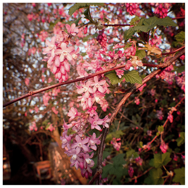 pink stars spring belper garden