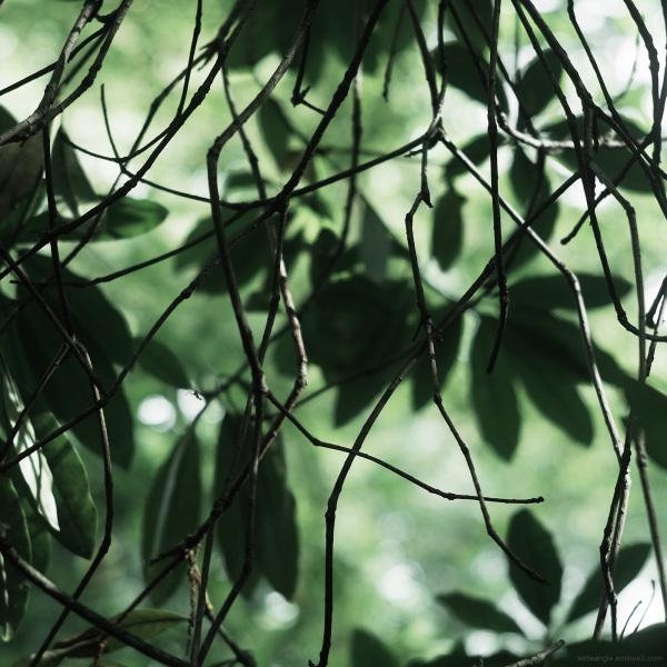 rhododendron leaves jungle nottingham jupiter8