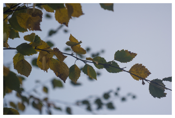 silver birch turning autumn coming