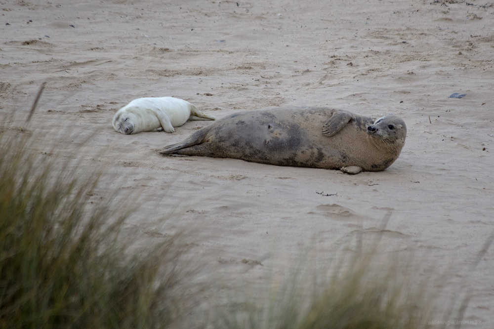 grey seal pup mother horsey gap norfolk