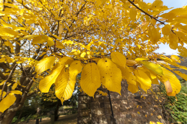 autumn leaves yellow orange trees belper