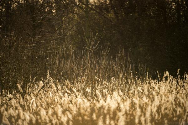 atteborough nature reserve reeds golden light