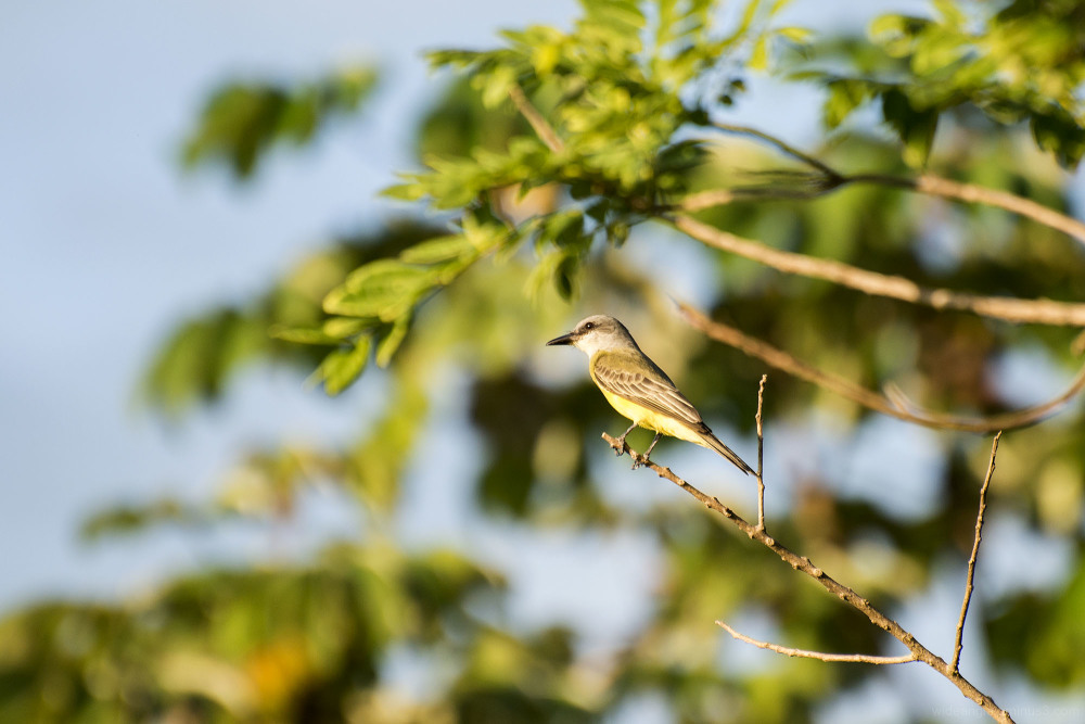 western kingbird costa rica