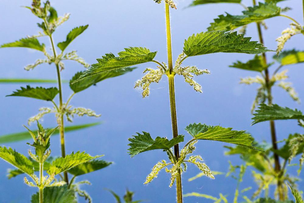 nettles stinging plant green