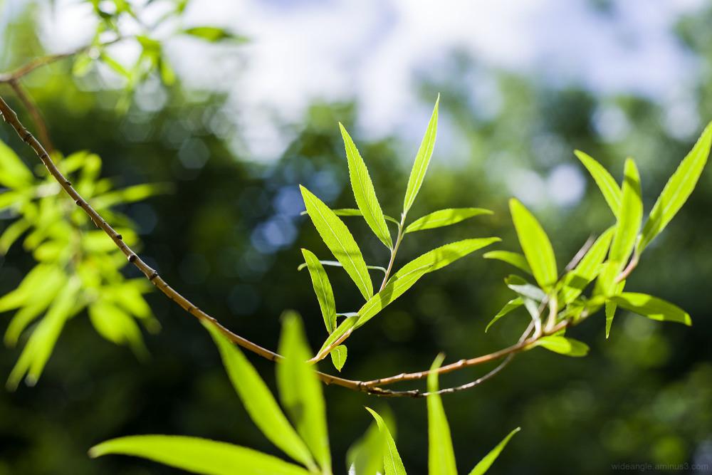 willow leaves sunshine garden belper