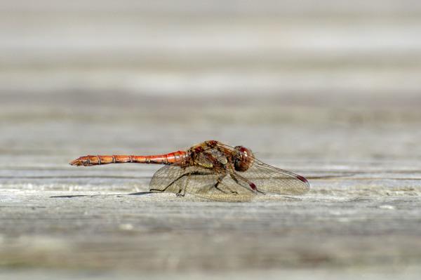 common darter dragonfly river trent shardlow