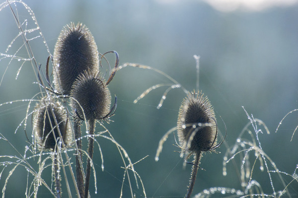 teasels plants river trent shardlow
