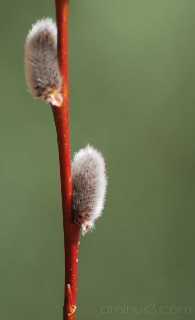 pussy willow on green background