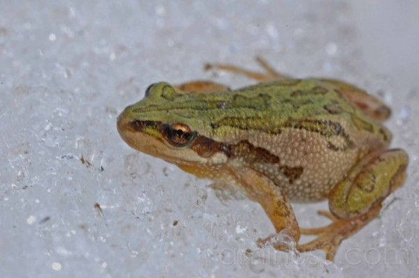 green frog macro on icesnow