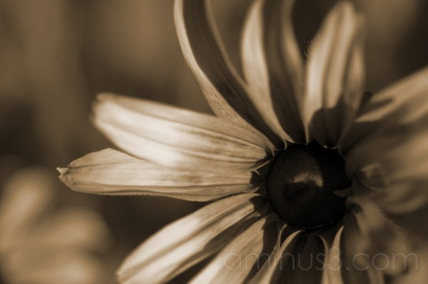 brown eyed susan