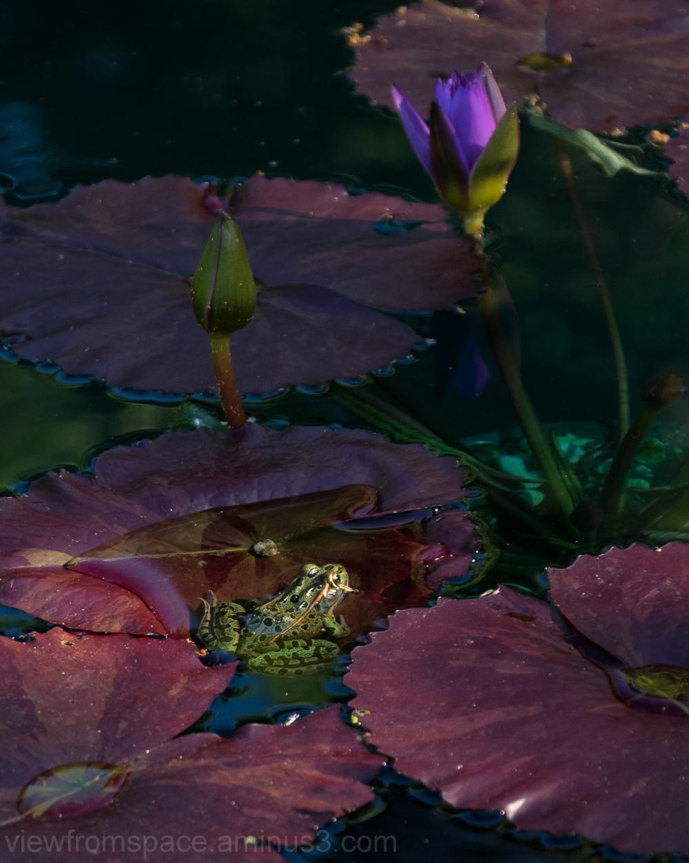 frog lilypad pond winnipeg manitoba canada