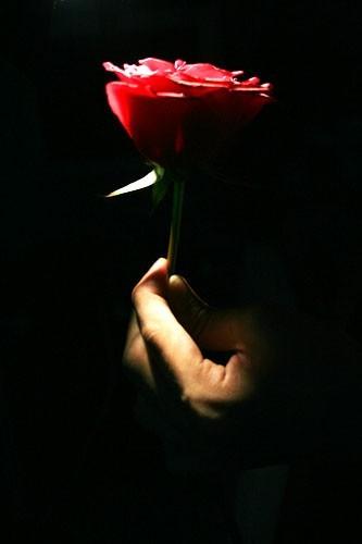 studio shot of a rose