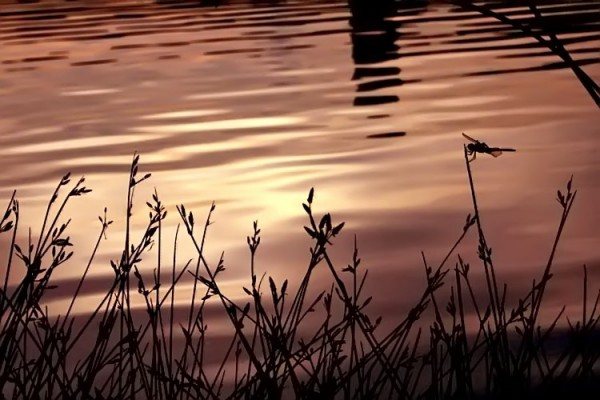 silhouetted plants w dragonfly against golden lake