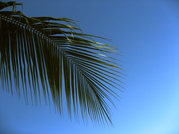 palm tree leaf against blue sky