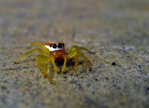 macro of yellow spider on floor