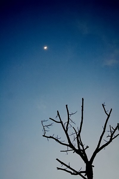 silhouette of branches with a moon in sky at dawn