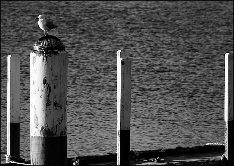 Seagull on a Pile
