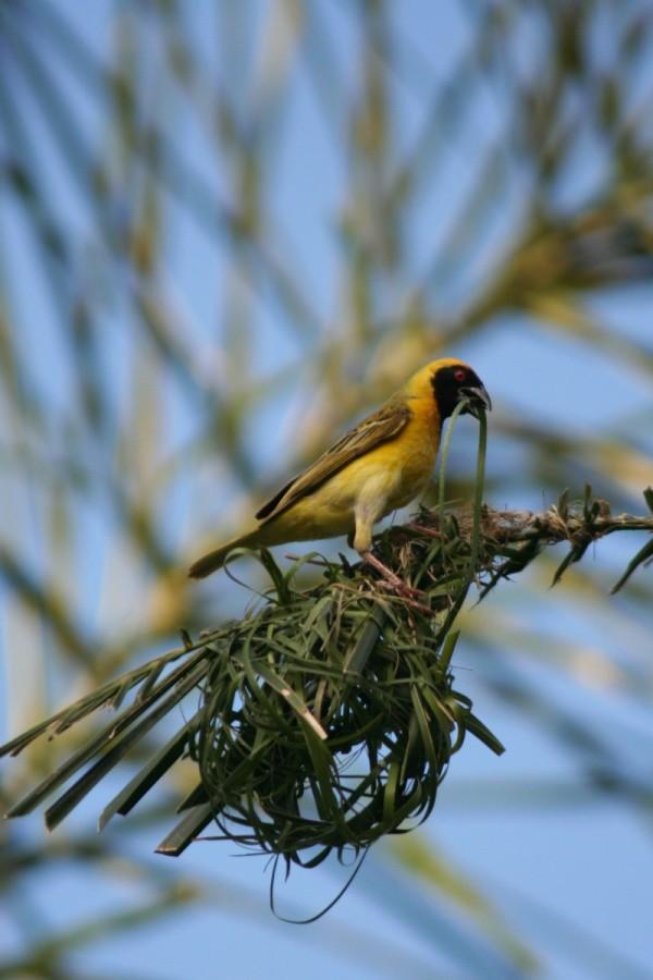 African Masked Weaver (I)
