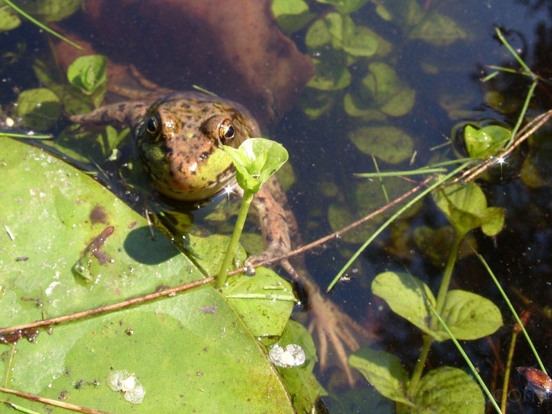 A Model Frog