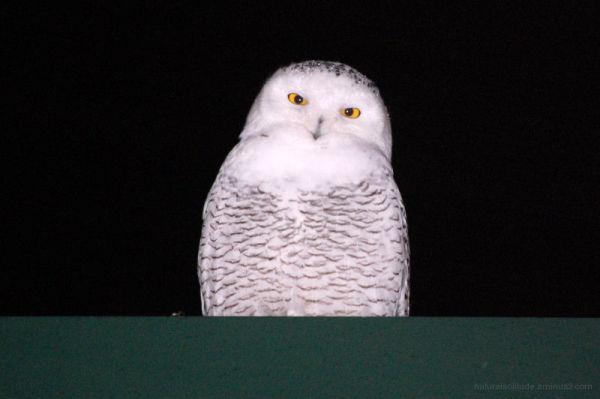 Great Snowy Owl