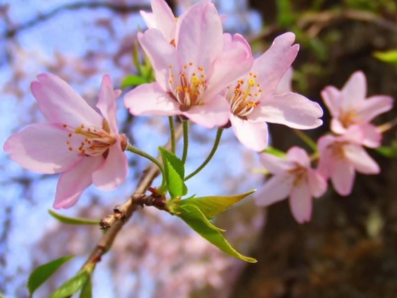 Cherry Blossoms Ⅶ