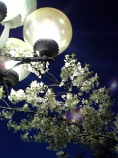 Cherry blossoms at nightⅡ