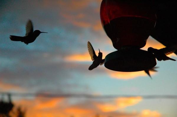 humming birds drinking nectar