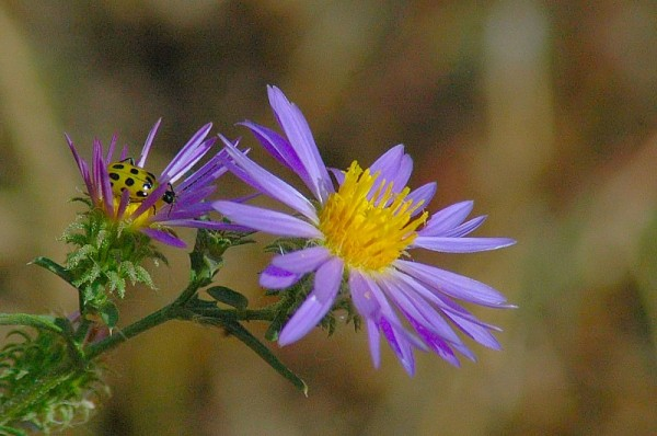cucumber beetle on tansy aster