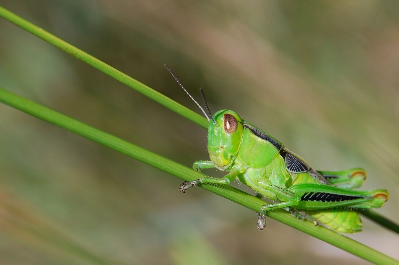 very green grasshopper