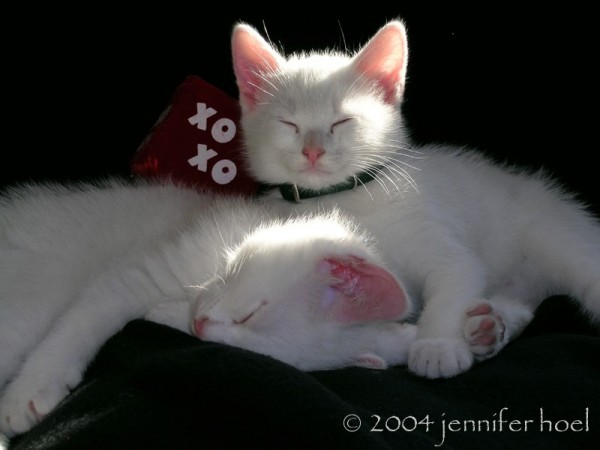 photo of 2 white kittens pan thor