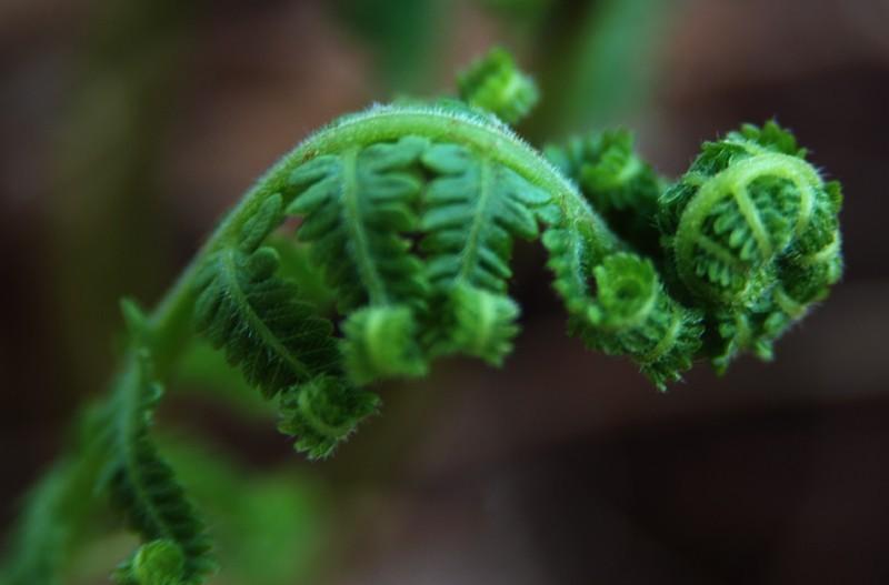 curly fern
