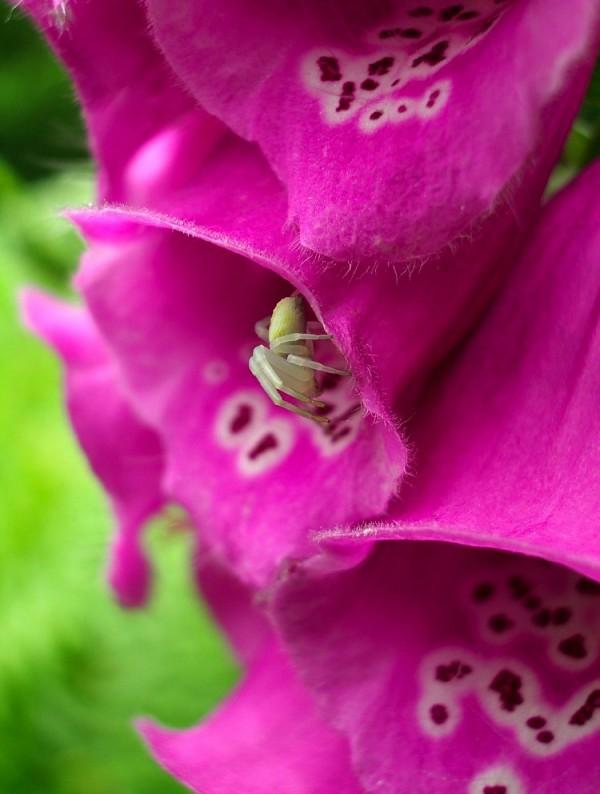 foxglove spider