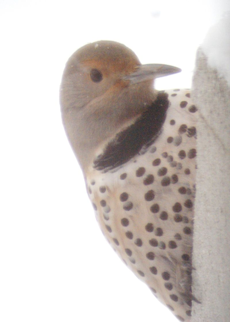 winter woodpecker