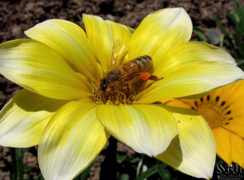 S3H, bee, flower