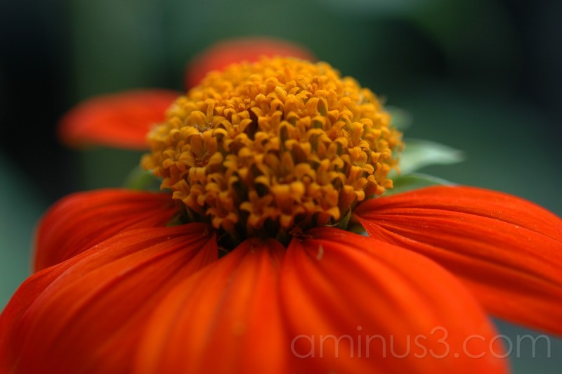 Tithonia 'Torch'