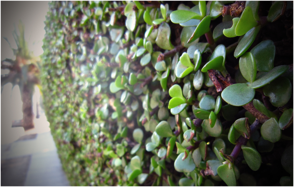 Succulent hedge