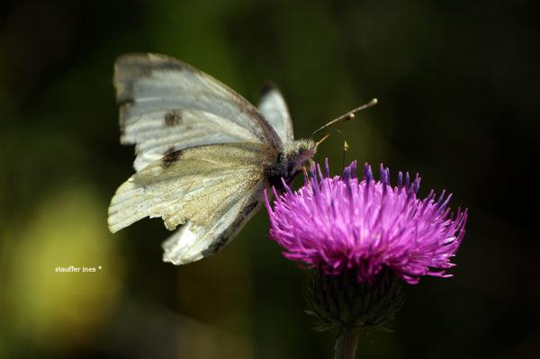 Les ailes un peu froissées ...