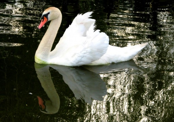 Swan Swim