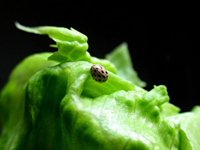 Pale Ladybug!