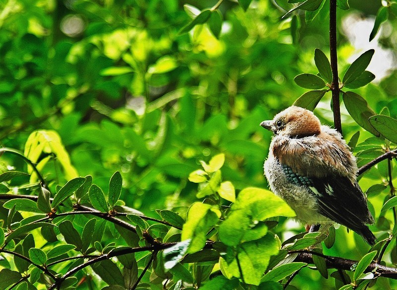 Young jay in the forest, just after the rain