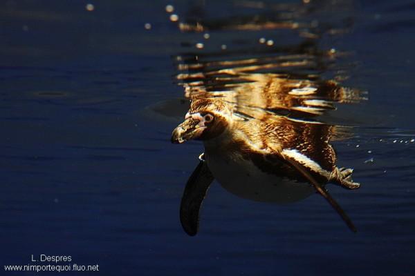 penguin swiming under water