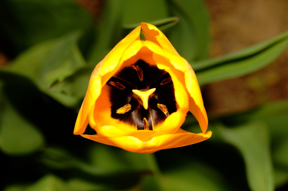 triangle tulip